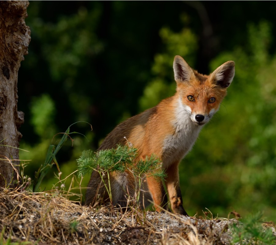 Pest Control Services Foxes