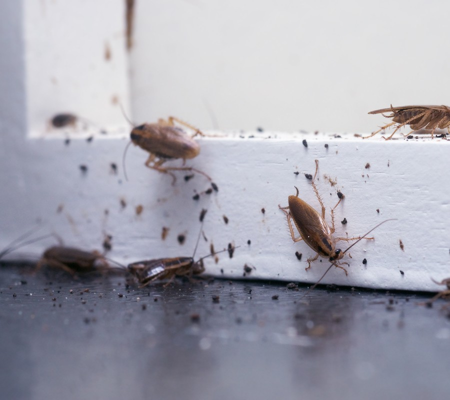 Pest Control Services Cockroaches