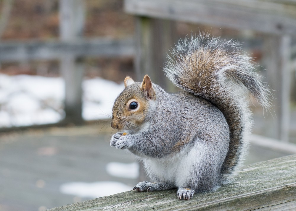 Pest Control Services Squirrels